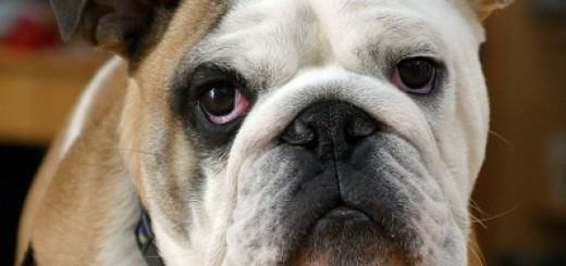 bulldog2a
