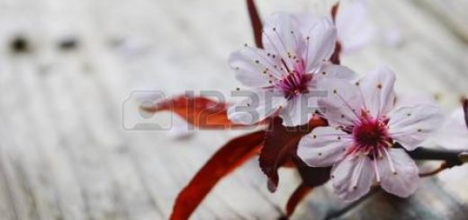 13008736-spring-blossom-on-rustic-wooden-plank