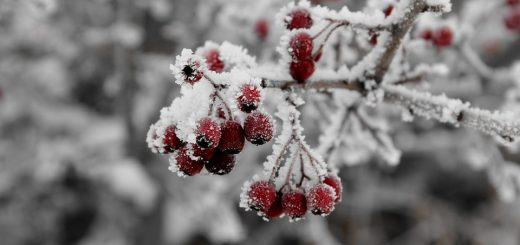 Branch Plant Fruit Berry Cold Ice Winter