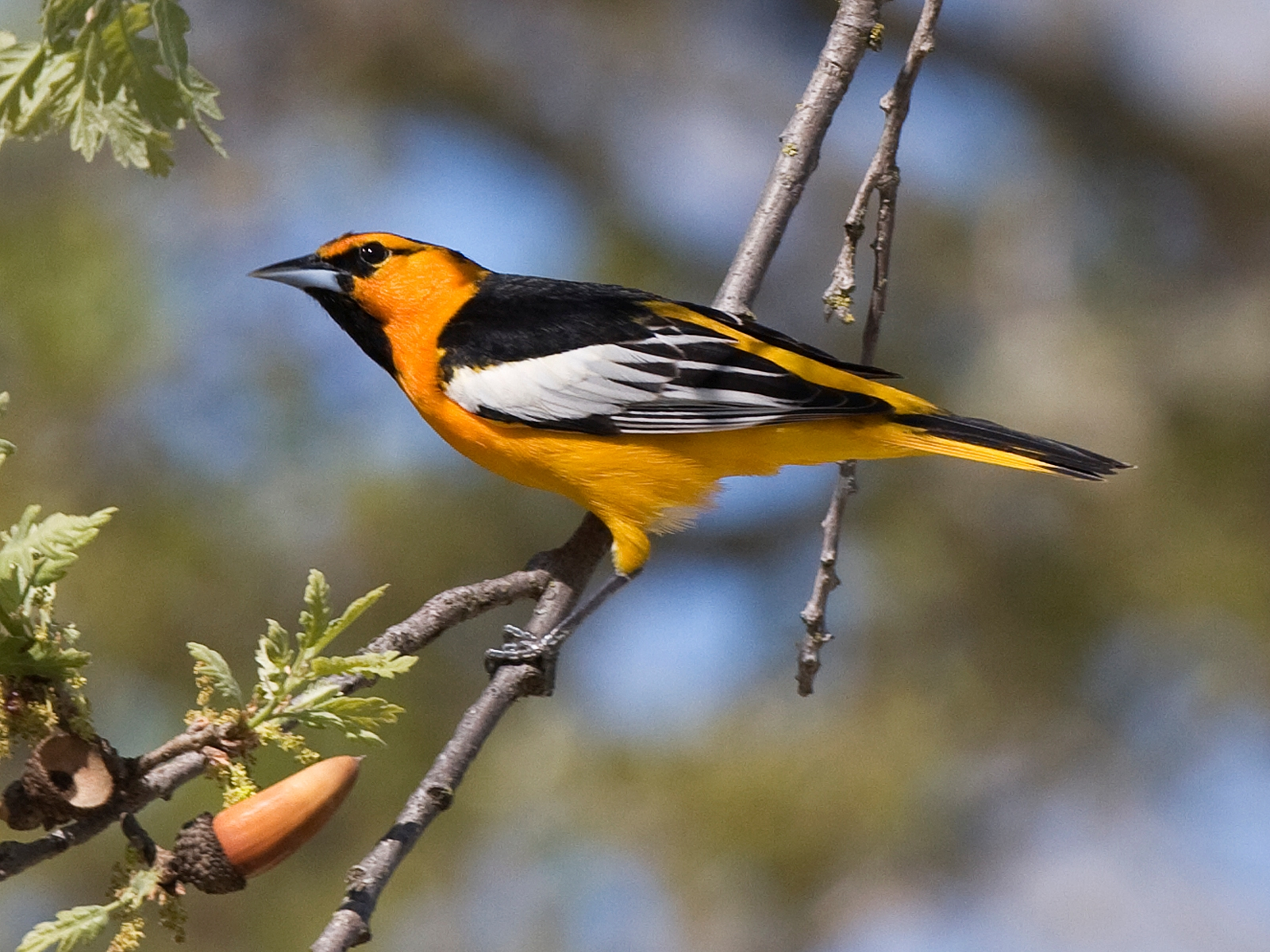 Male Bullock's Oriole at Atascadero Lake